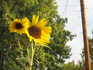 Two yellow sunflowers next to a power pole