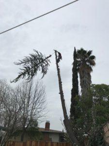 Tree Topping a cedar tree