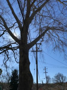 power line passes through tree in Lafayette California